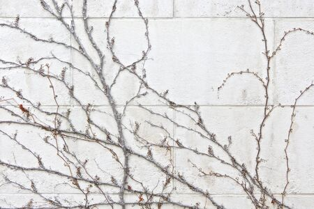 parasite plant on a white brick wall texture background