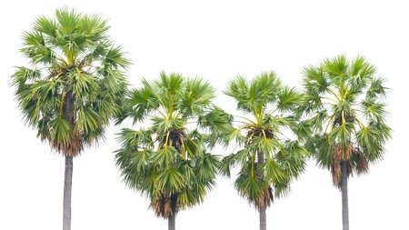 cambodian palm: Asian Palmyra palma, Toddy palma, zucchero di palma, palma cambogiano isolato su uno sfondo bianco