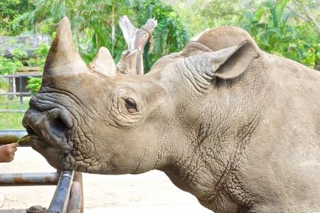 cow pea: feeding rhino in a zoo by hand
