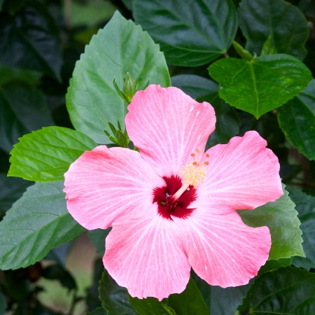rosemallow: pink hibicus is blooming Stock Photo