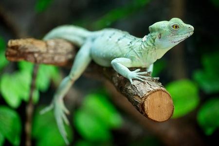 lizard in field: dispararon cerca de Basilisco emplumada mujer en el �rbol (Basiliscus plumifrons, tambi�n llamado un basilisco verde, doble con cresta basilisco, lagarto Jesucristo)