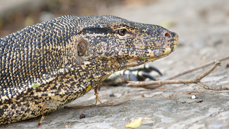 close up shot of Water Monitor Lizard (Varanus salvator) with shallow depth of field, focus on the eye photo