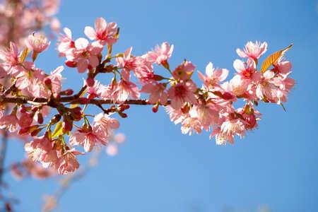 eudicots: wild himalayan cherry blossom
