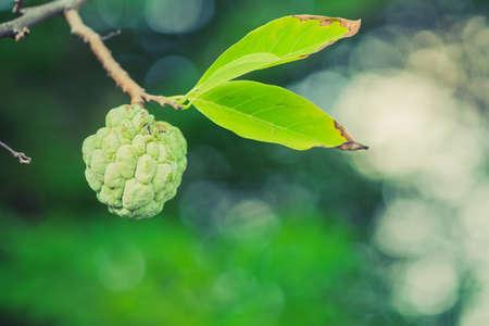 The custard apple tree on look beautiful