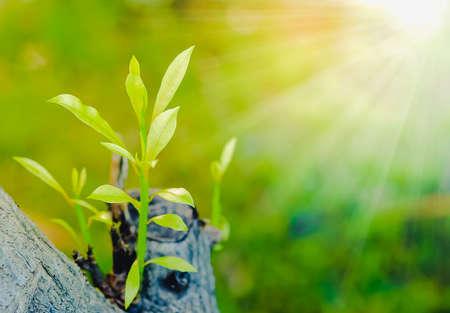 Junge Sämlinge wachsen auf einem Baumstumpf und in der Sonne, um das Leben zu erhalten.