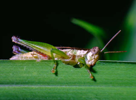 Green grasshopper is eating leaves in the garden. Stock Photo