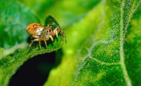 Jumping spiders have orange, beautiful black on green leaves.