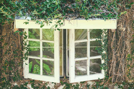 Old windows with creepers and vines, beautifully covered by nature.