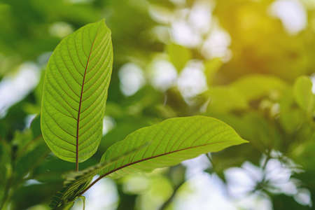 Korth Cottage Leaves (Kratom flowers) growing in nature are addictive and medical. Stockfoto