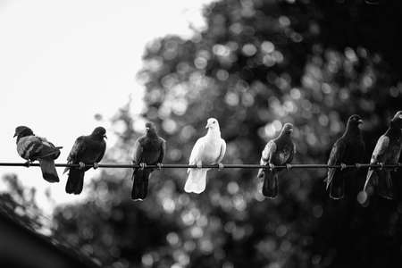 White pigeons amidst the black body on the power lines that look different. Stok Fotoğraf