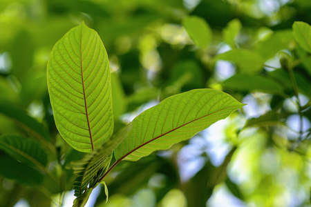Korth Cottage Leaves (Kratom flowers) growing in nature are addictive and medical. Stock Photo