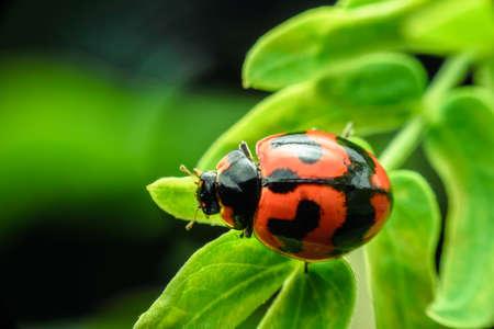Ladybug with red stripes, black, walking on green leaves, beautiful morning. Stockfoto