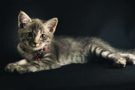 A lovely gray haired kitten that is on a black background. Stockfoto