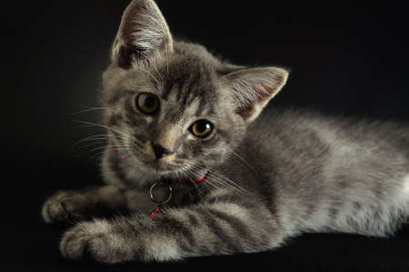 A lovely gray haired kitten that is on a black background.