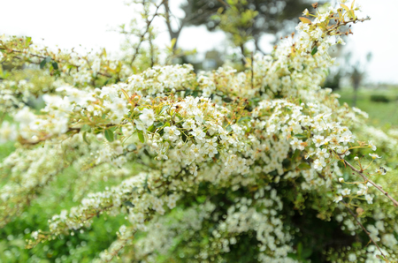 Branches of a young blossoming bird cherry. Beauty in nature. Spring morning. Stockfoto