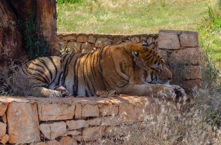 Tiger under a tree animal, nature, tree, mammal wild forest