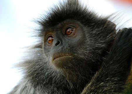 A black Monkey is seen at the Bukit Melawati Hill in Tanjung Karang, Malaysia on May 26, 2017.
