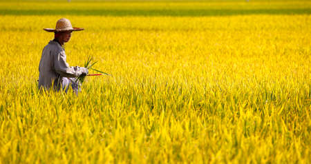 Worker working at the paddy field is seen at Sekinchan, Malaysia on May 28, 2017.