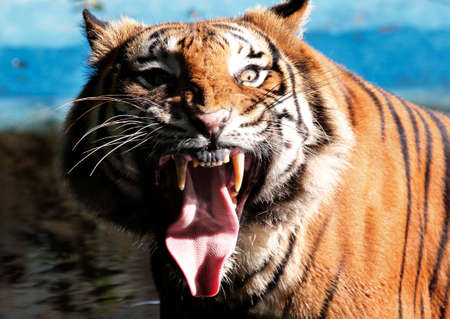 Front views of Tiger opens the mouth Stock Photo