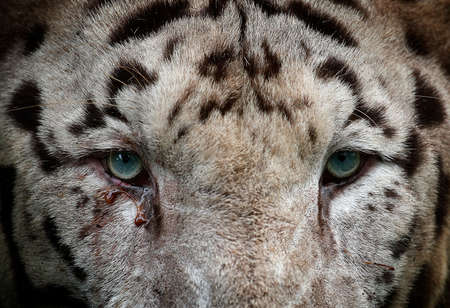 Close-up of White tiger is seen at the Zoo, Kuala Lumpur, Malaysia 스톡 콘텐츠