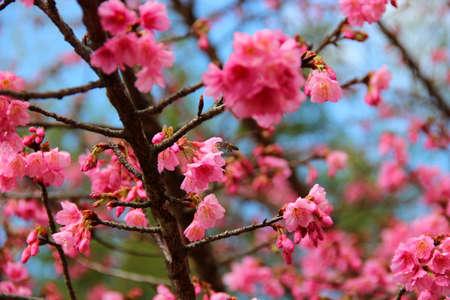 florid: Prunus cerasoides