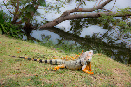 Green or Common iguana on grass in the forest Stockfoto