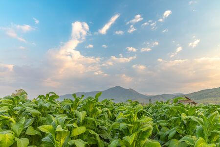 Tobacco field and hut with beautiful mountain hill background, Agriculture in countryside