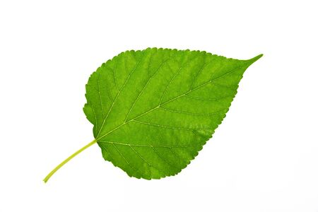 Mulberry leaf on isolate white background