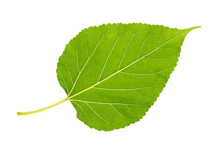 Close up under mulberry leaf on isolate white background