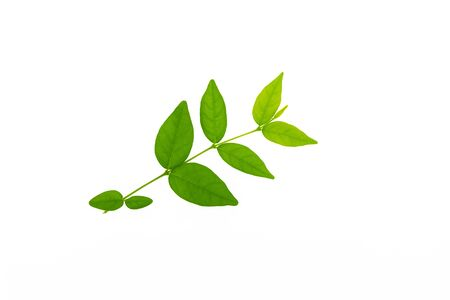 Fresh green leaves branch on isolate white background