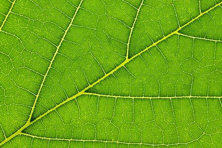 Natural green leaf texture background