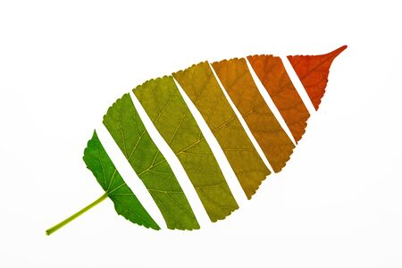 Autumn leaf devided to show about color transition from green to red on white background, Seasons change concept