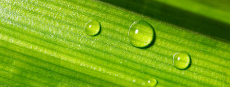 Drop of dew on Green Pandan leaf, Banner for ecology friendly and sustainability
