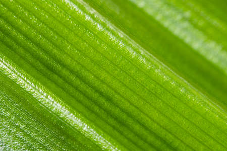 Pandan leaf texture blur abstract background