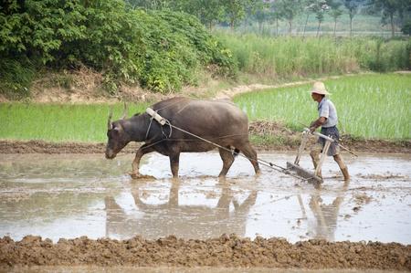 plowing: Los agricultores asi�ticos utilizan el b�falo de agua para arar Foto de archivo