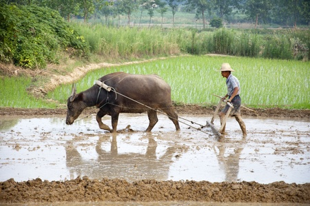 Asian farmers use water buffalo to plow photo