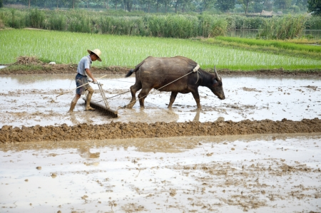 peasantry: Asian farmers use water buffalo to plow
