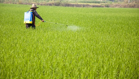 Asian farmers spraying pesticides in rice fields