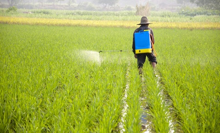 peasantry: Asian farmers spraying pesticides in rice fields