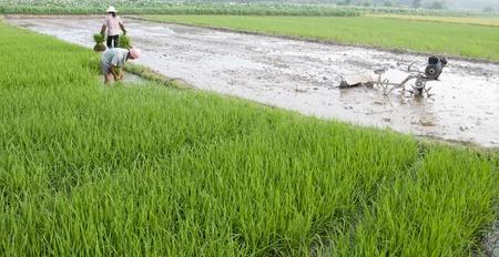 peasantry: Asian farmers grow rice