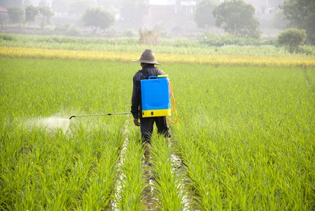 pesticides: Asian farmers spraying pesticides in rice fields