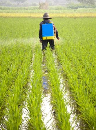 peasantry: Asian rice farmers to spray pesticides