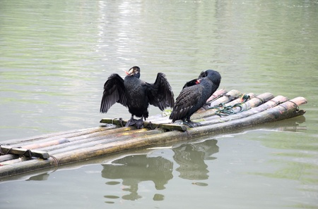 cormorants and bamboo raft photo