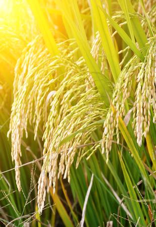 paddy field: rice