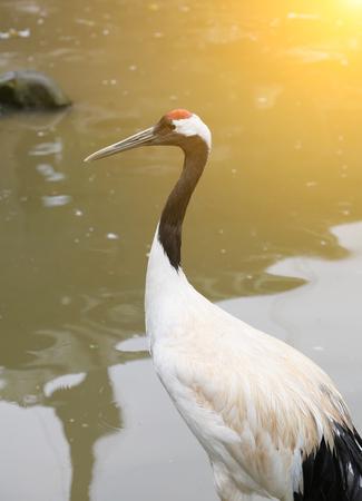 vivarium: red-crowned crane