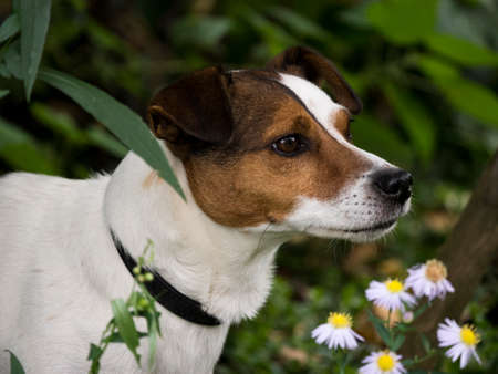 Jack Russell in flowerbed