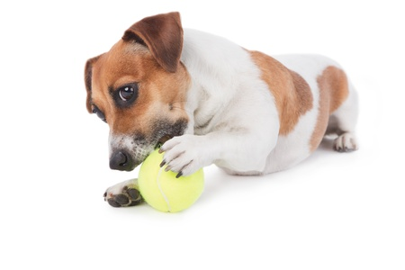 Dog Jack Russel terrier playing with a toy  Dog is gnawing yellow tennis ball  Isolated on white  Studio shot