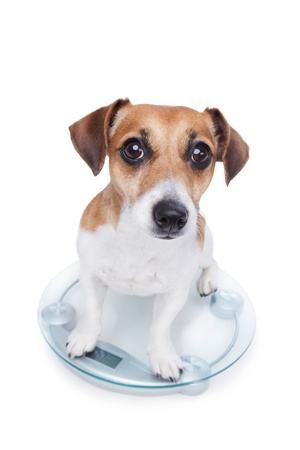 Dog measures your weight, sits on the scales and looks into the camera photo