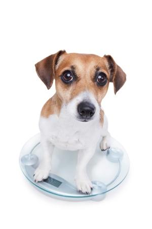 Hond meet je gewicht, zit op de weegschaal en kijkt in de camera Stockfoto