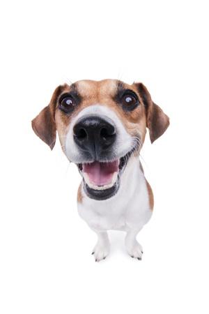 Lacht Jack Russel terrier hond Blij hond met grote neus op witte achtergrond Studio shot Stockfoto